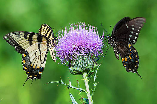 Butterflies by David Gunter