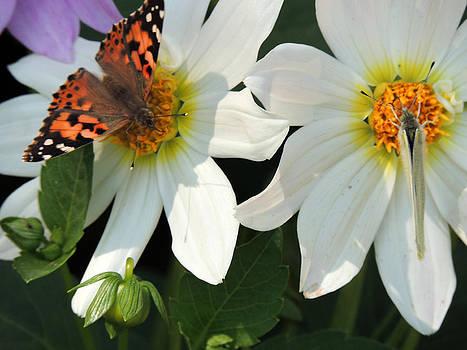 Butterflies...... by Ramesh Chand