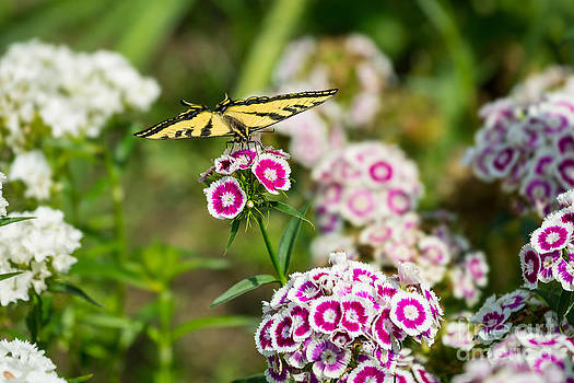 Jamie Pham - Butterfly and Bloom - Beautiful spring flowers and tiger swallowtail butterfly.