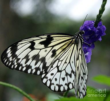 Gail Matthews - Butterfly Asian Swallowtail and Jasmine