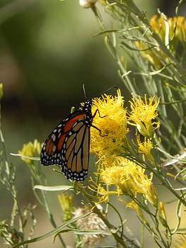 Butterfly at Zion by Justyne Moore