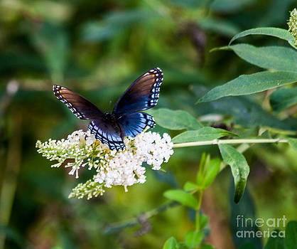 Butterfly Beauty by Jinx Farmer