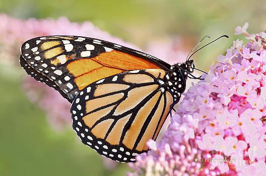 Regina Geoghan - Butterfly Beauty-Monarch II