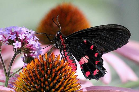 Rosanne Jordan - Butterfly Beauty