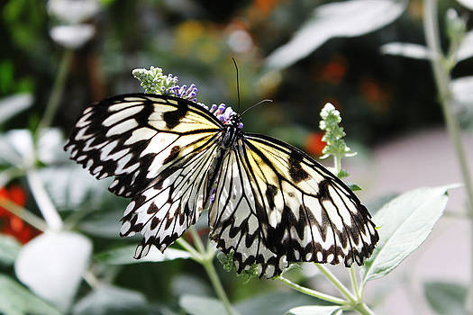 Butterfly Black and White by Pamela Lecavalier