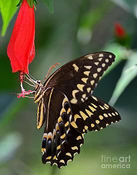 Wayne Nielsen - Butterfly Black Swallowtail Palamedes