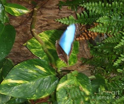 Gail Matthews - Butterfly Blue Morpho