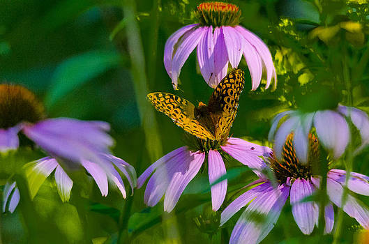 Butterfly Cone Flowers by David Tennis