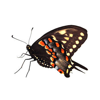 Dorian Hill - Butterfly