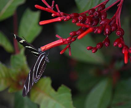 Suzie Banks - Butterfly Enjoying a Flower
