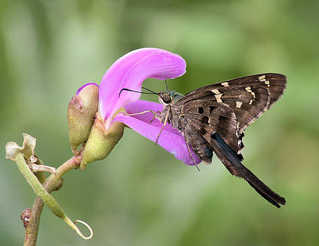 Butterfly Enjoying a Snack by Suzie Banks