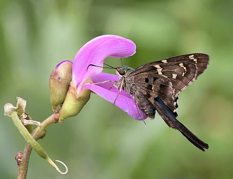 Suzie Banks - Butterfly Enjoying a Snack
