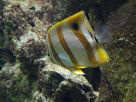 Butterfly Fish by Steen Hovmand Lassen