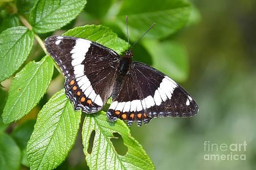 Butterfly by Galina Khlupina