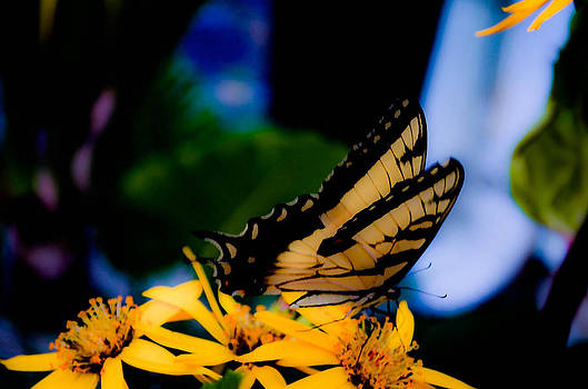Butterfly getting lunch by Karen Kersey