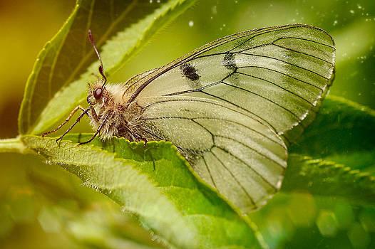 Zoran Buletic - Butterfly II
