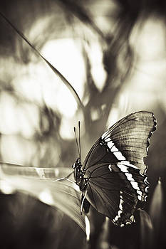 Butterfly In Sepia by Bradley R Youngberg