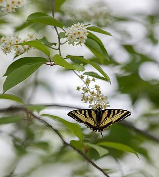 Dee Carpenter - Butterfly in the Chokecherry Tree