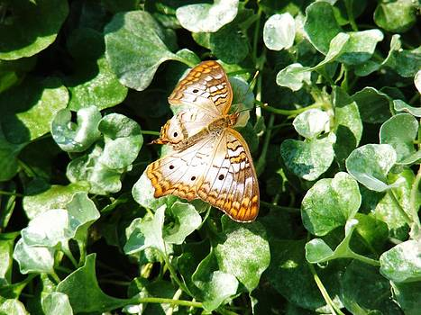 Butterfly in the Green by Van Ness