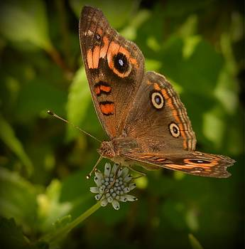 Butterfly by Kerry Hauser