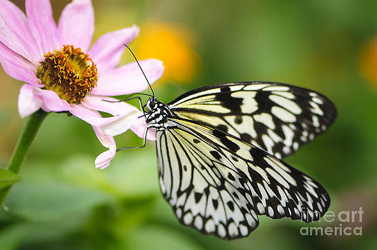Oscar Gutierrez - Butterfly Landing on Zinnia