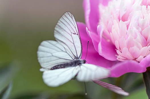 Jenny Rainbow - Butterfly Love Dance on Peony