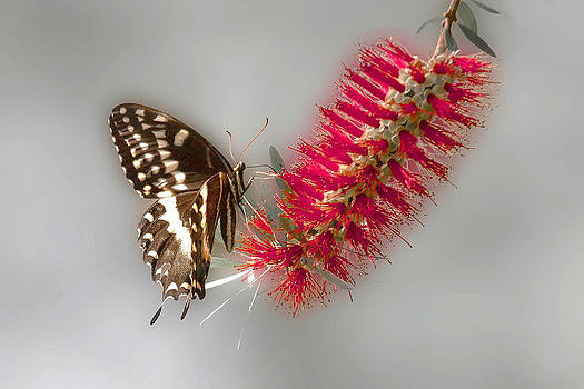Terry Shoemaker - Butterfly on a Bottle Brush tree