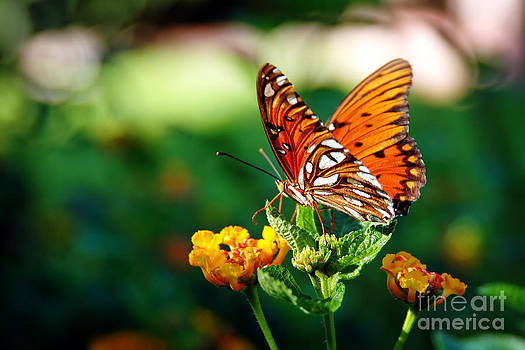 Butterfly on a Lantana by Lincoln Rogers