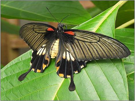 Butterfly on a leaf by Ron Baker