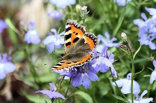Butterfly on Blue flower by Gordon Auld