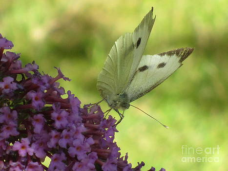 Butterfly On Buddleia by Bernice Grundy