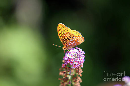 Butterfly on Butterfly Bush by Kathy DesJardins