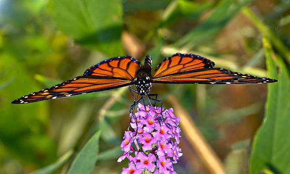 Butterfly on Butterfly Bush by Susan Leggett
