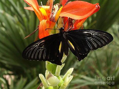 Butterfly on Cana flower by Barbara Lightner