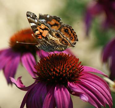 Joe Bledsoe - Butterfly on Coneflower