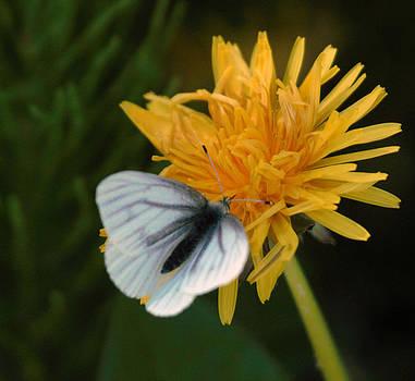 Butterfly On Dandelion by Ed Nicholles