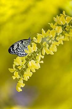 Butterfly on Laburnum by Gillian Dernie