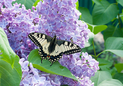 Butterfly on lilac by Konstantin Gushcha