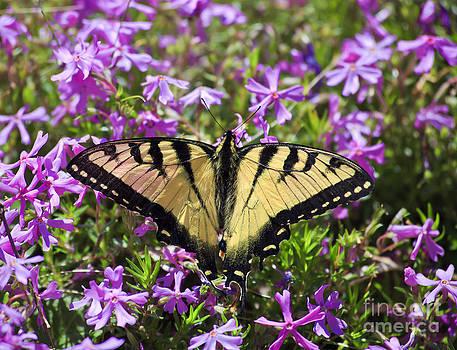 Jill Lang - Butterfly on Phlox