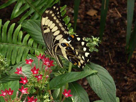 Butterfly on red flowers by Barbara Lightner