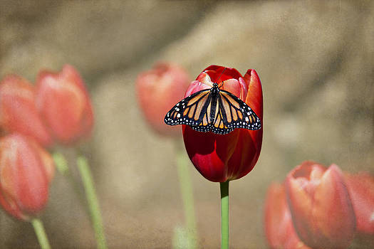 Butterfly on Red Tulip by Heather Reeder