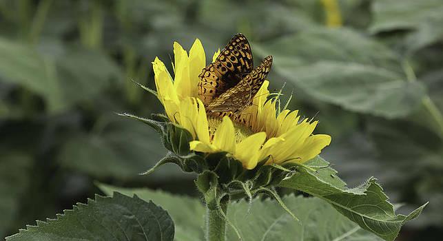 Butterfly on Sunflower by Joenne Hartley