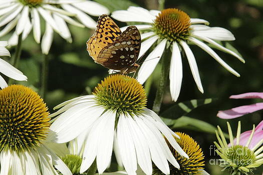 Butterfly on White Coneflower by Kathy DesJardins