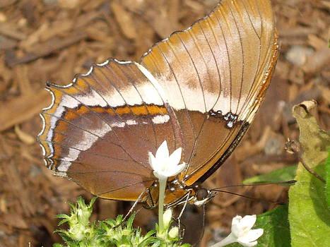 Butterfly on white flowers by Barbara Lightner