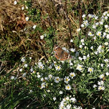 Nina Fosdick - Butterfly on White Flowers