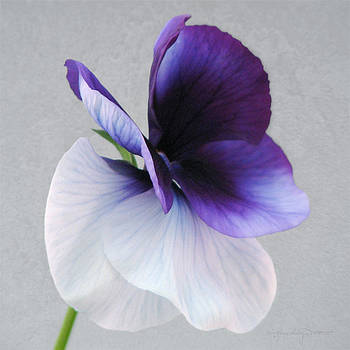 Butterfly Pansy II by Karen Casey-Smith