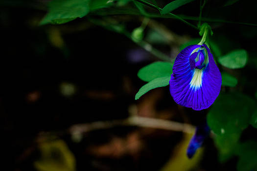 Butterfly Pea Singapore Flower by Donald Chen