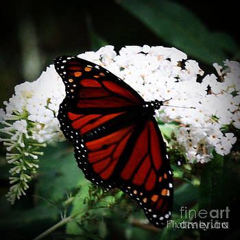 Butterfly Perfection by Jinx Farmer