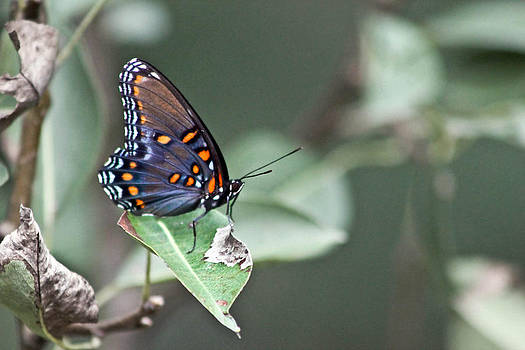 Butterfly Profile by Nichole Carpenter