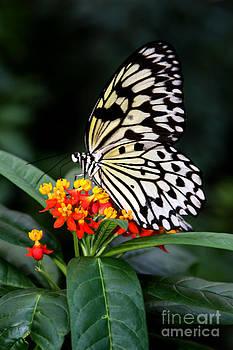 Butterfly by Rachel Reading